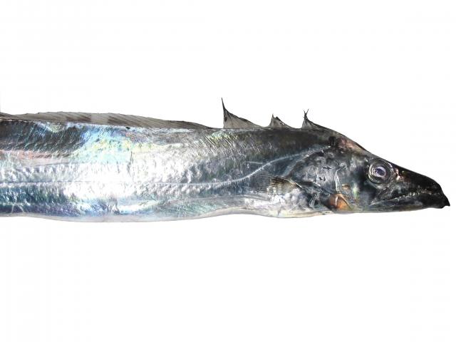 タチウオ釣り 日中はメタルジグで探るべし!