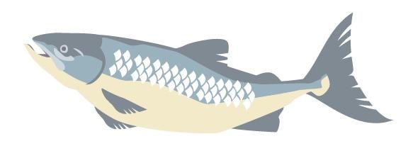 鮭(サケ)