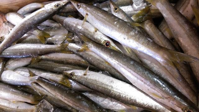 堤防からのカマス釣りのコツ